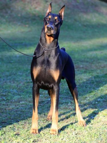 Best Doberman Dog Armani